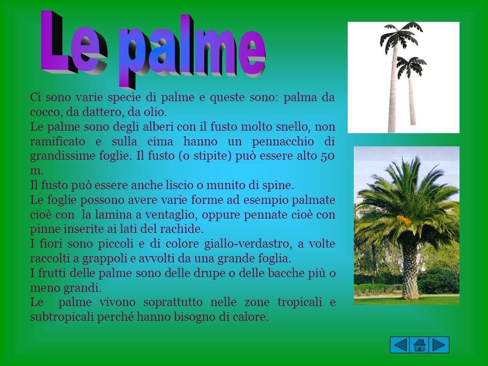 Ci sono varie specie di palme e queste sono: palma da cocco, da dattero, da olio. Le palme sono degli alberi con il fusto molto snello, non ramificato