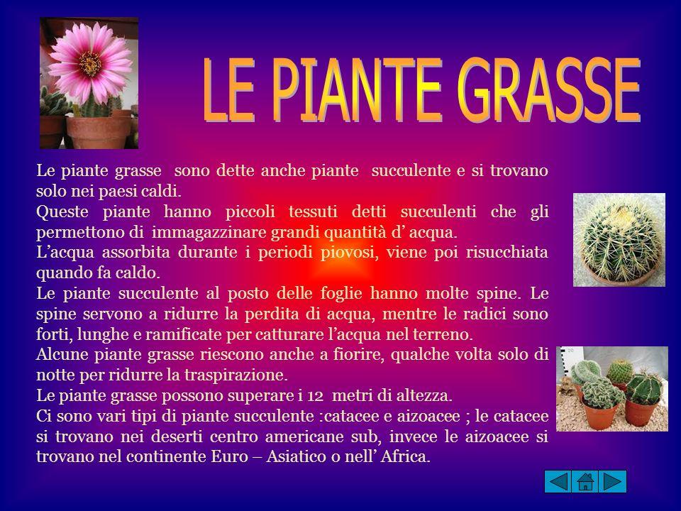 Le piante grasse sono dette anche piante succulente e si trovano solo nei paesi caldi. Queste piante hanno piccoli tessuti detti succulenti che gli pe