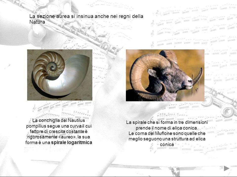La sezione aurea si insinua anche nei regni della Natura La conchiglia del Nautilus pompilius segue una curva il cui fattore di crescita costante è ri
