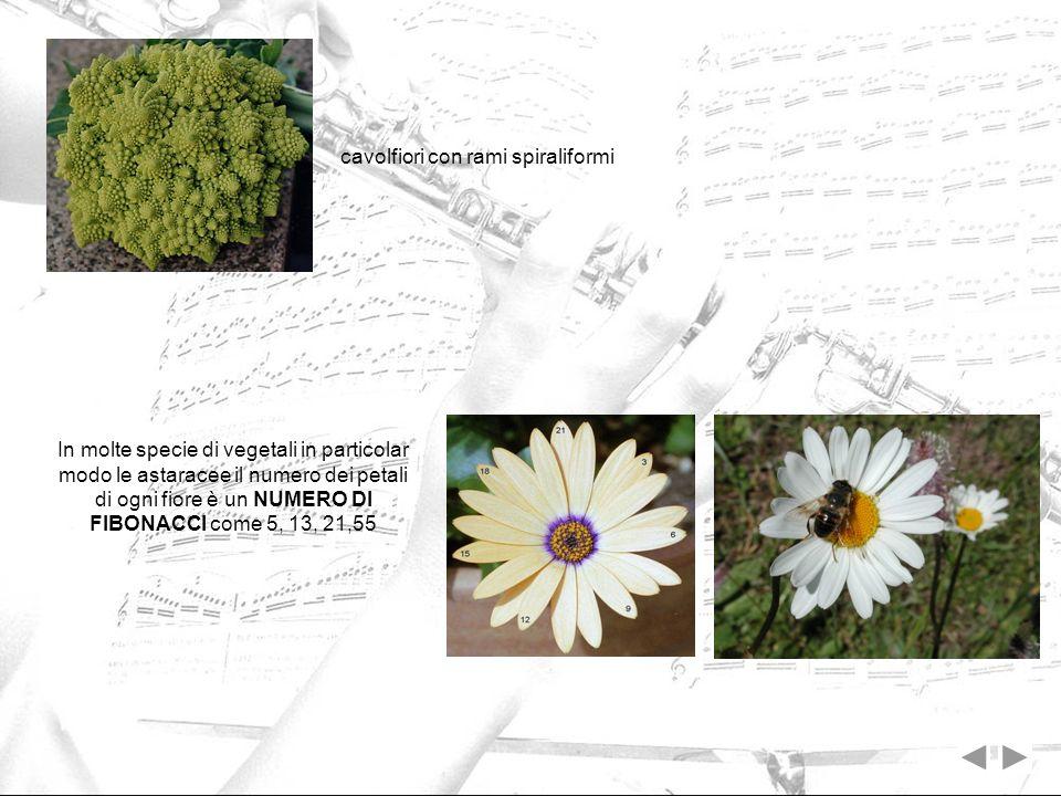 cavolfiori con rami spiraliformi In molte specie di vegetali in particolar modo le astaracee il numero dei petali di ogni fiore è un NUMERO DI FIBONAC