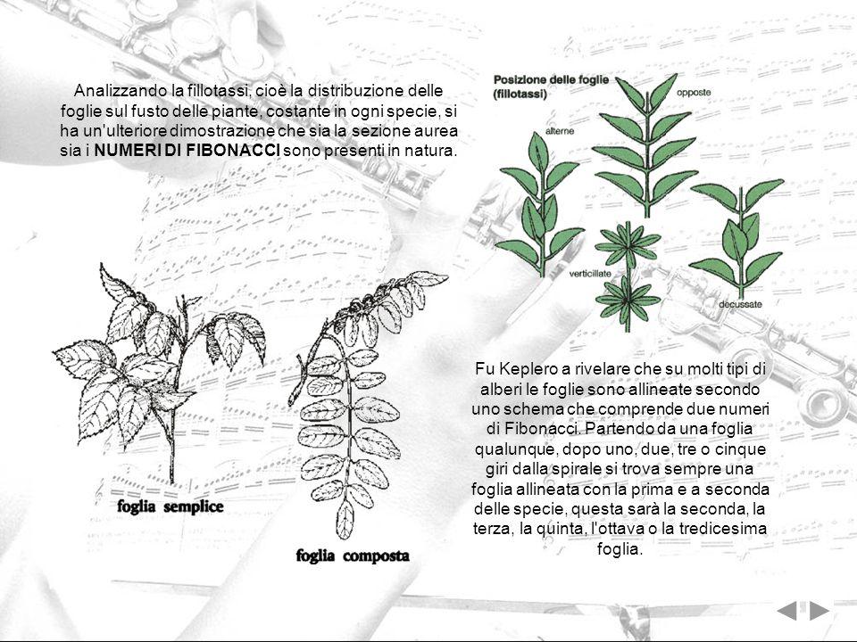 Analizzando la fillotassi, cioè la distribuzione delle foglie sul fusto delle piante, costante in ogni specie, si ha un'ulteriore dimostrazione che si