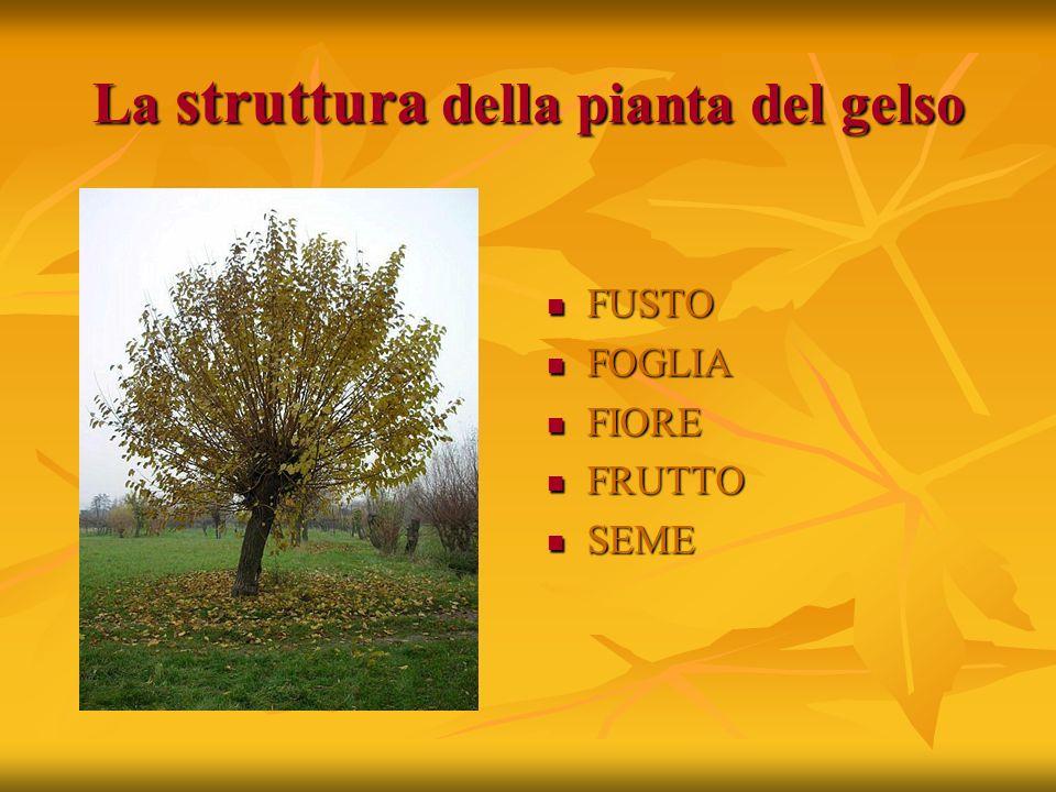 La struttura della pianta del gelso FUSTO FUSTO FOGLIA FOGLIA FIORE FIORE FRUTTO FRUTTO SEME SEME