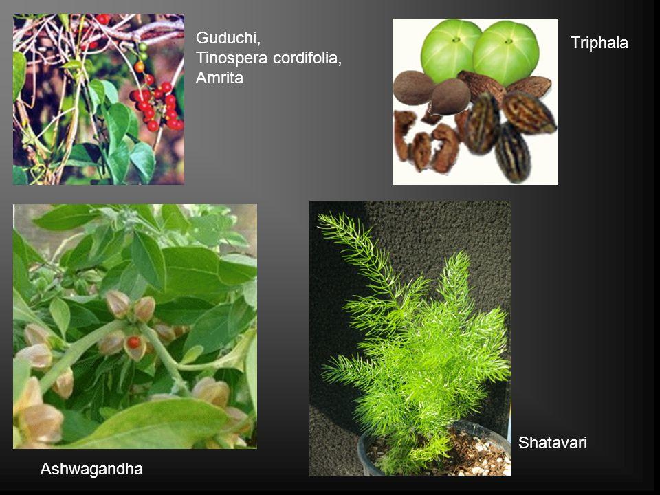 Guduchi, Tinospera cordifolia, Amrita Triphala Ashwagandha Shatavari