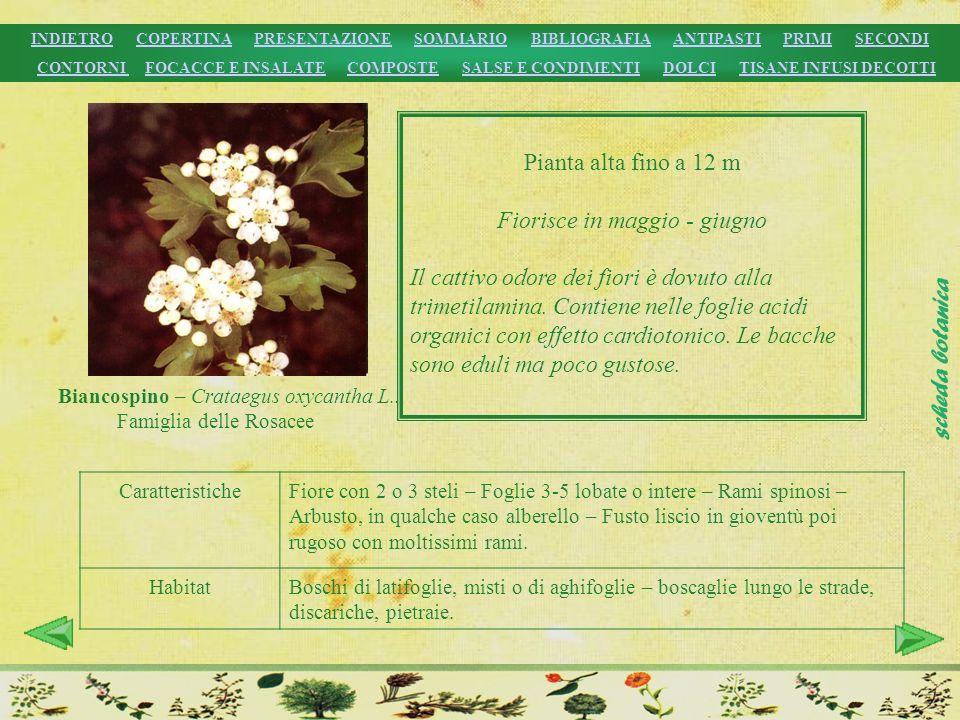 CaratteristicheFiore con 2 o 3 steli – Foglie 3-5 lobate o intere – Rami spinosi – Arbusto, in qualche caso alberello – Fusto liscio in gioventù poi r