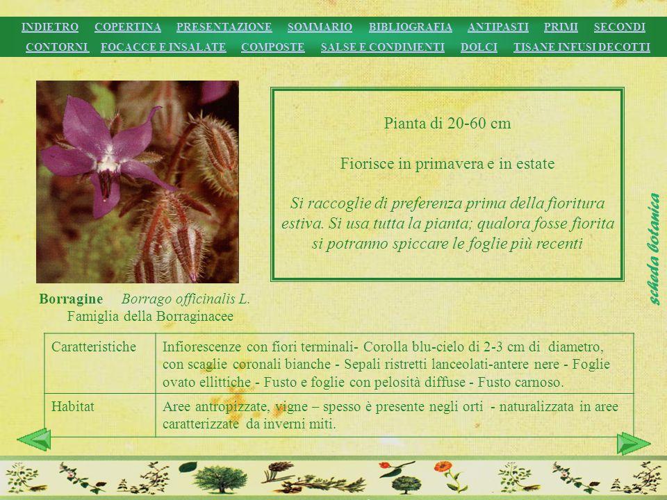 Borragine Borrago officinalis L. Famiglia della Borraginacee Pianta di 20-60 cm Fiorisce in primavera e in estate Si raccoglie di preferenza prima del