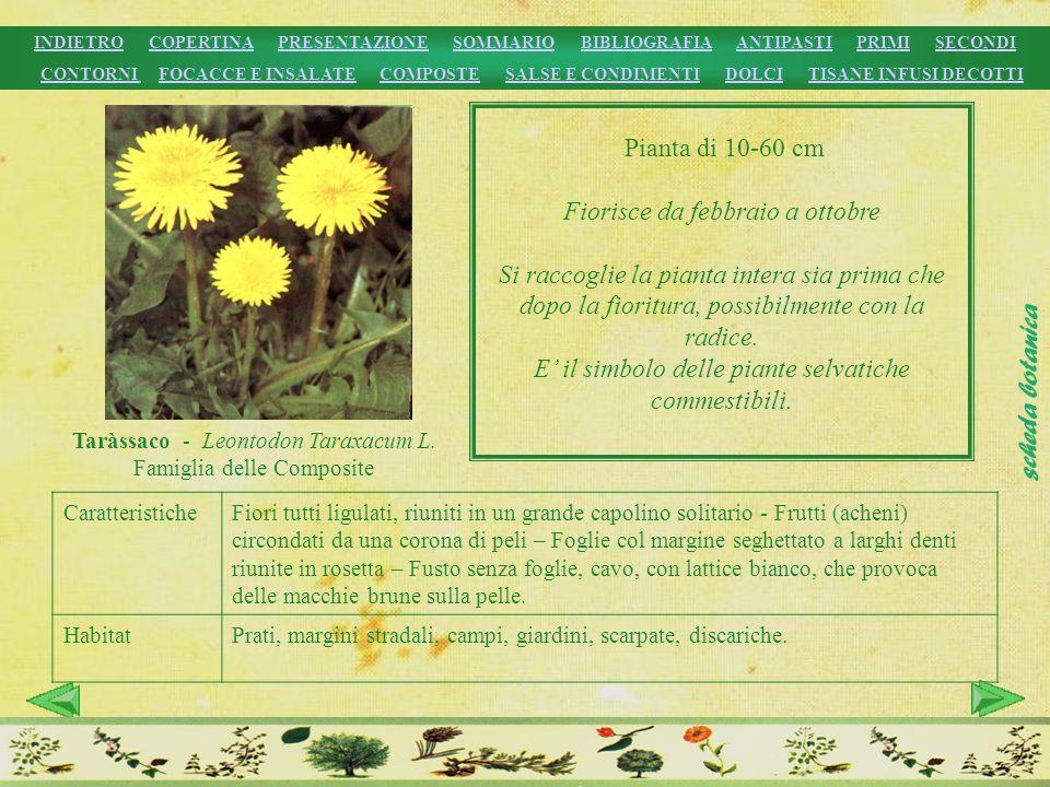 Taràssaco - Leontodon Taraxacum L. Famiglia delle Composite Pianta di 10-60 cm Fiorisce da febbraio a ottobre Si raccoglie la pianta intera sia prima