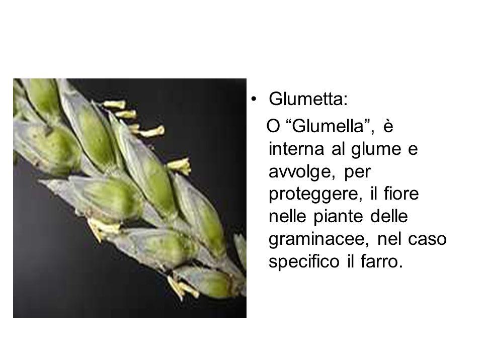 Glumetta: O Glumella, è interna al glume e avvolge, per proteggere, il fiore nelle piante delle graminacee, nel caso specifico il farro.