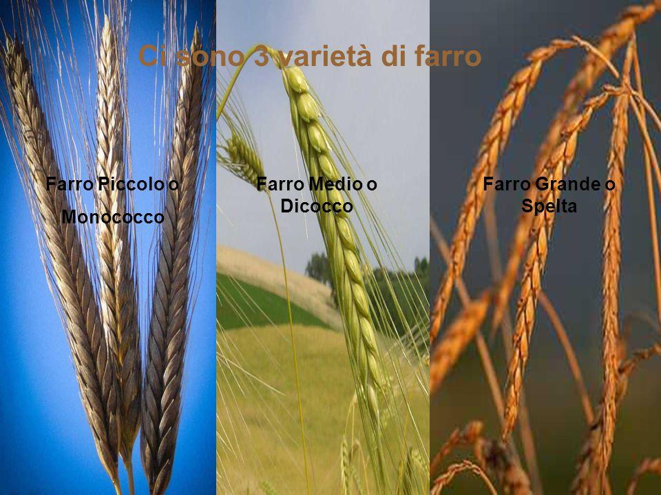 Farro Piccolo o Monococco Farro Medio o Dicocco Farro Grande o Spelta Ci sono 3 varietà di farro