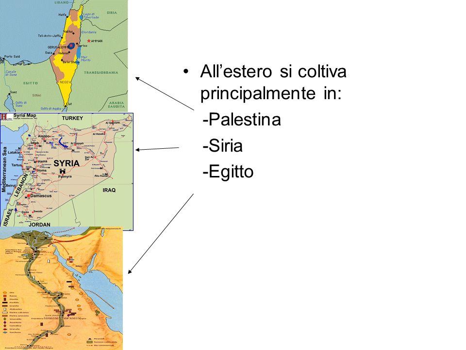 Allestero si coltiva principalmente in: -Palestina -Siria -Egitto