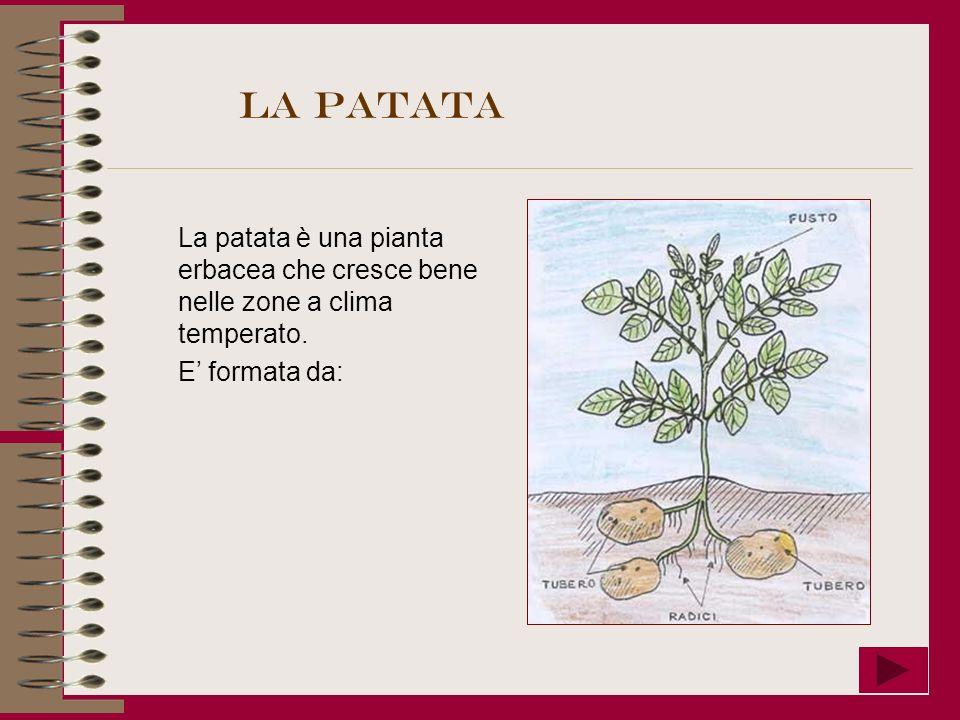 La patata La patata è una pianta erbacea che cresce bene nelle zone a clima temperato. E formata da: