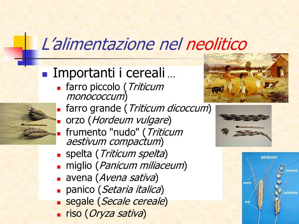 12 Lalimentazione nel neolitico Importanti i cereali … farro piccolo (Triticum monococcum) farro grande (Triticum dicoccum) orzo (Hordeum vulgare) fru