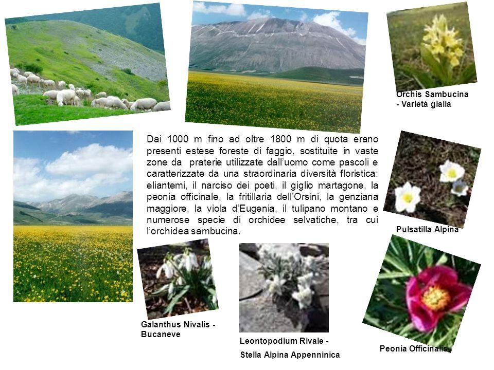 Sui piani di Castelluccio sono presenti inoltre le cosiddette piante infestanti, come il papavero, il fiordaliso e il leucantemo, che crescono nei campi della pregiata lenticchia coltivata (Lenticchia di Castelluccio).