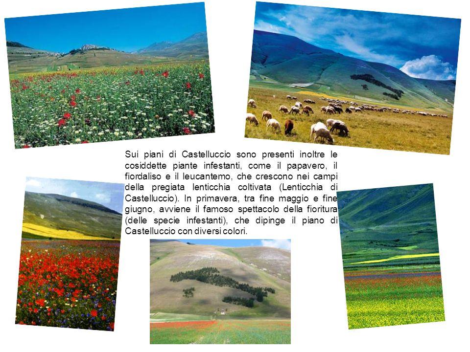 Pecora Sopravissana Nata nel XIII secolo dall incrocio tra arieti spagnoli di razza Merinos e pecore Vissane, dal territorio laziale la Sopravvissana si è diffusa in Umbria, nelle Marche, in Toscana e in Abruzzo.