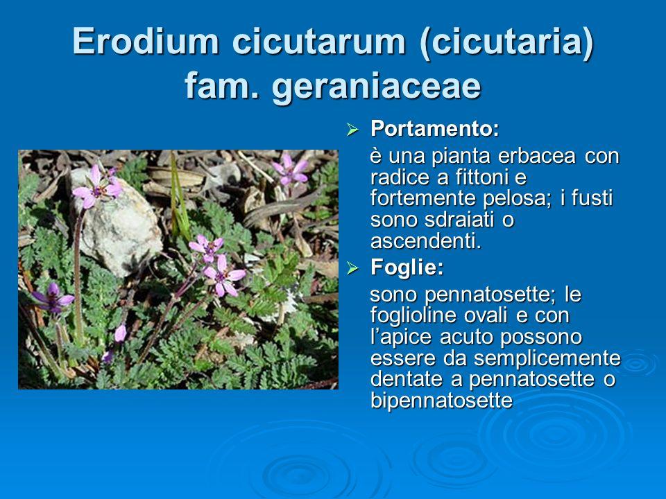 Erodium cicutarum (cicutaria) fam.
