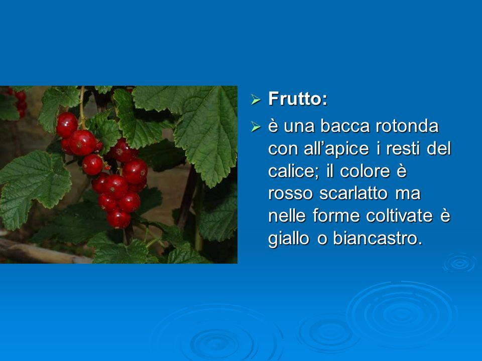 Frutto: Frutto: è una bacca rotonda con allapice i resti del calice; il colore è rosso scarlatto ma nelle forme coltivate è giallo o biancastro.