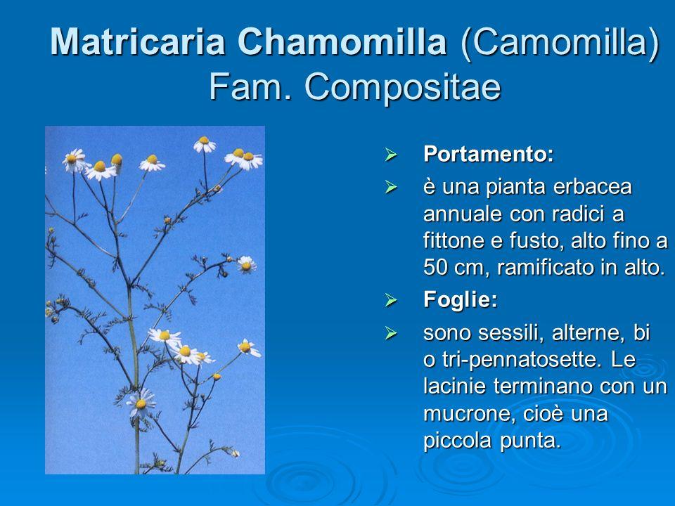 Matricaria Chamomilla (Camomilla) Fam.