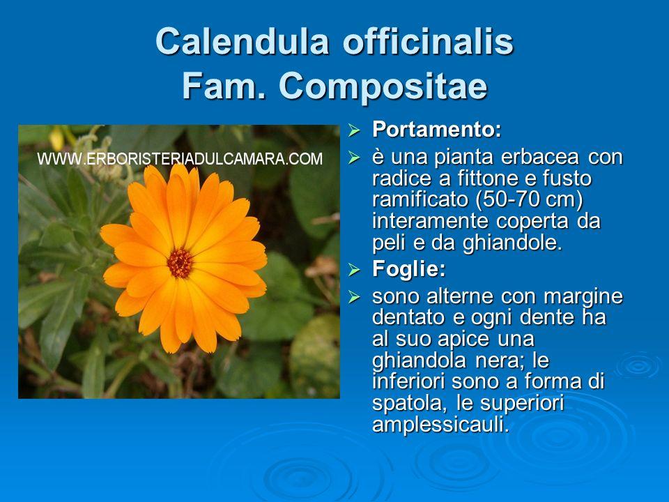 Calendula officinalis Fam.