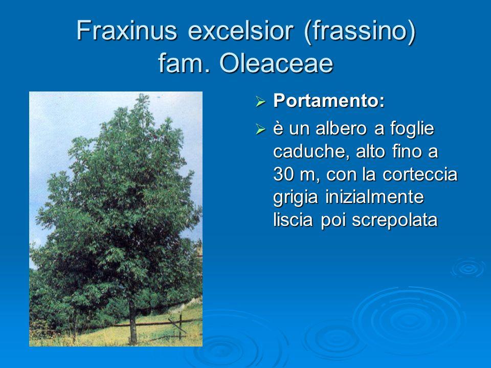 Fraxinus excelsior (frassino) fam.