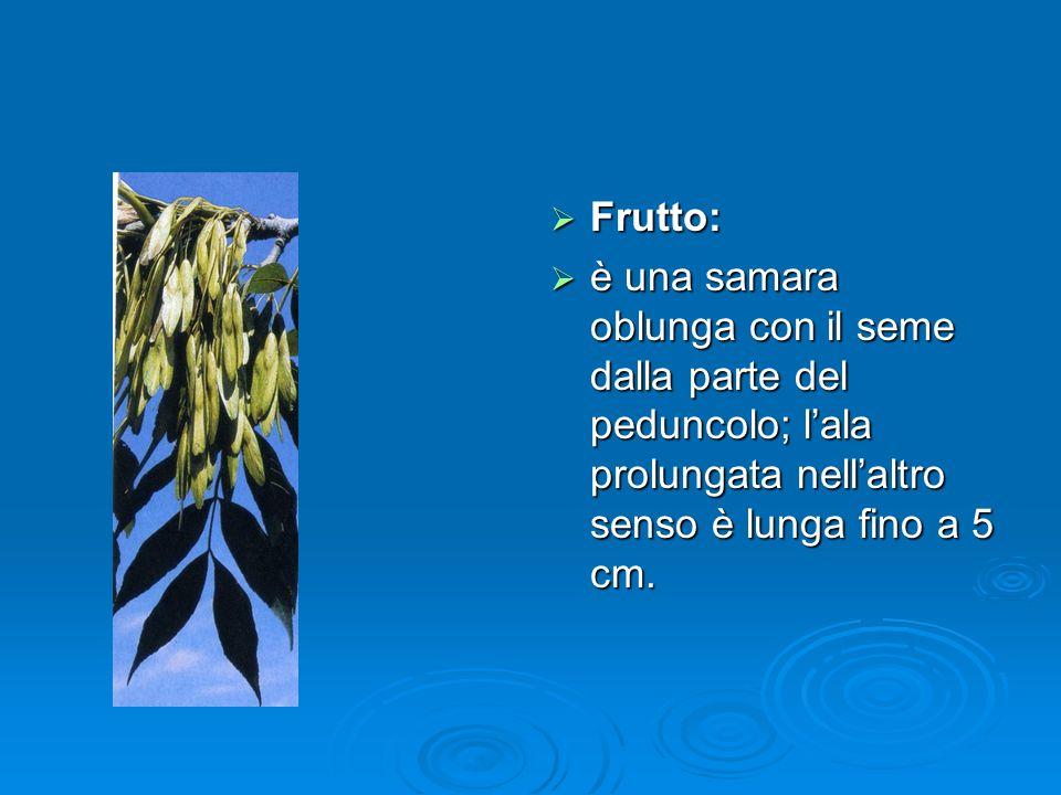 Frutto: Frutto: è una samara oblunga con il seme dalla parte del peduncolo; lala prolungata nellaltro senso è lunga fino a 5 cm.