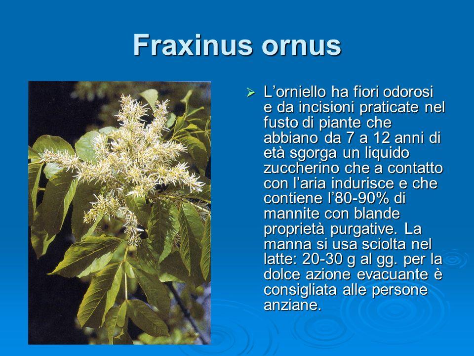Fraxinus ornus Lorniello ha fiori odorosi e da incisioni praticate nel fusto di piante che abbiano da 7 a 12 anni di età sgorga un liquido zuccherino che a contatto con laria indurisce e che contiene l80-90% di mannite con blande proprietà purgative.