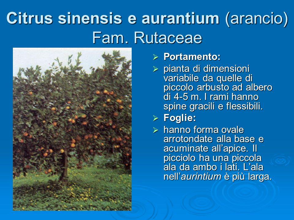 Citrus sinensis e aurantium (arancio) Fam.