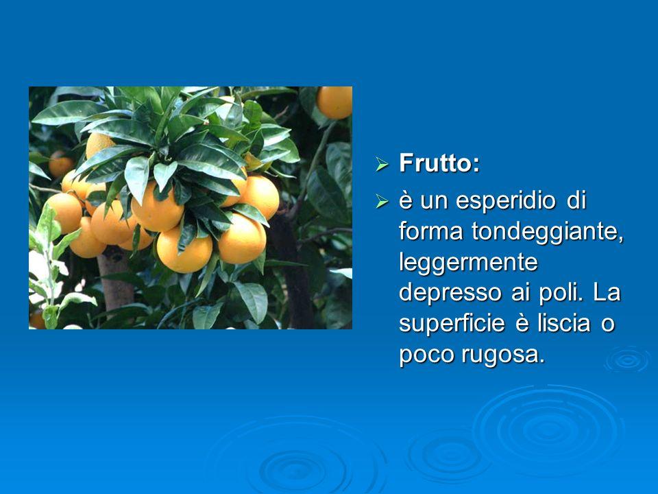 Frutto: Frutto: è un esperidio di forma tondeggiante, leggermente depresso ai poli.