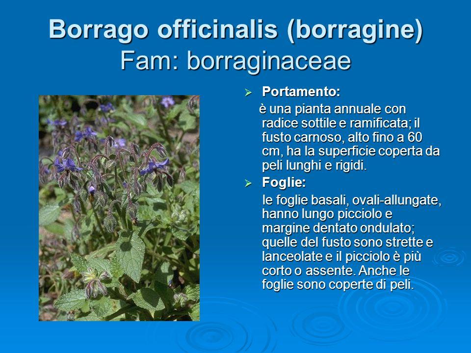 Borrago officinalis (borragine) Fam: borraginaceae Portamento: Portamento: è una pianta annuale con radice sottile e ramificata; il fusto carnoso, alto fino a 60 cm, ha la superficie coperta da peli lunghi e rigidi.
