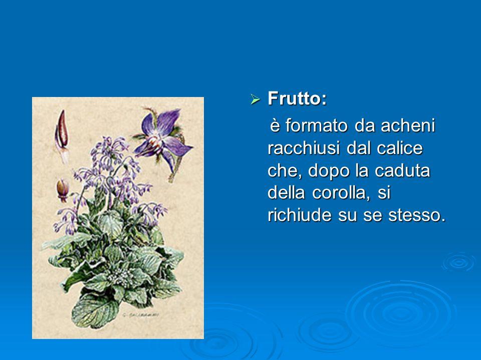 Frutto: Frutto: è formato da acheni racchiusi dal calice che, dopo la caduta della corolla, si richiude su se stesso.