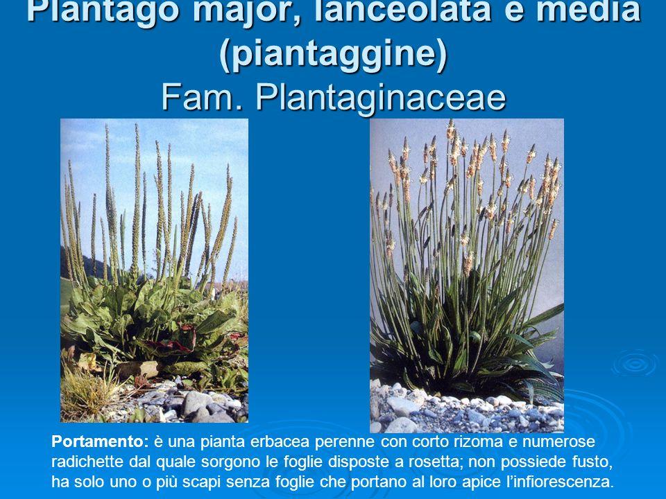 Plantago major, lanceolata e media (piantaggine) Fam.