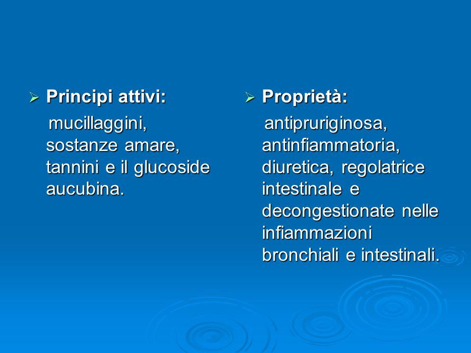 Principi attivi: Principi attivi: mucillaggini, sostanze amare, tannini e il glucoside aucubina.
