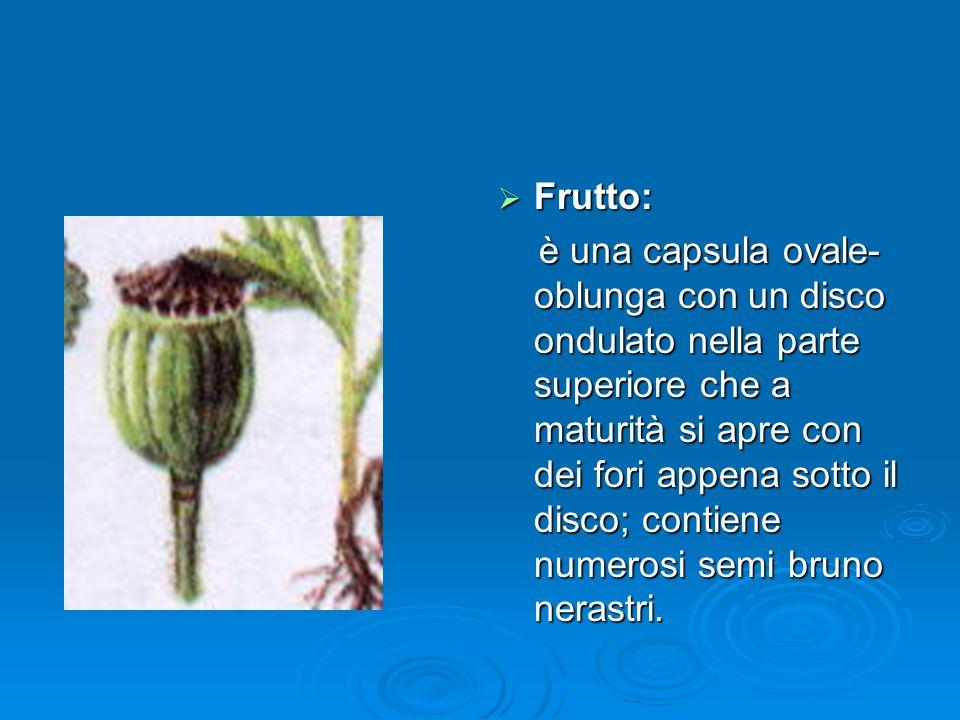 Frutto: Frutto: è una capsula ovale- oblunga con un disco ondulato nella parte superiore che a maturità si apre con dei fori appena sotto il disco; contiene numerosi semi bruno nerastri.