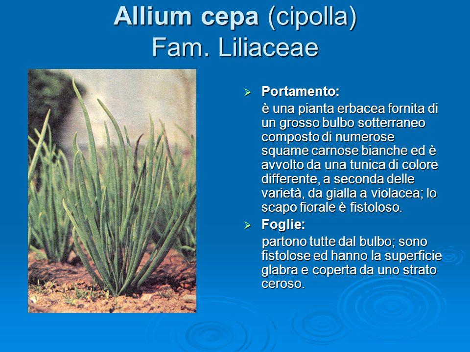 Allium cepa (cipolla) Fam.