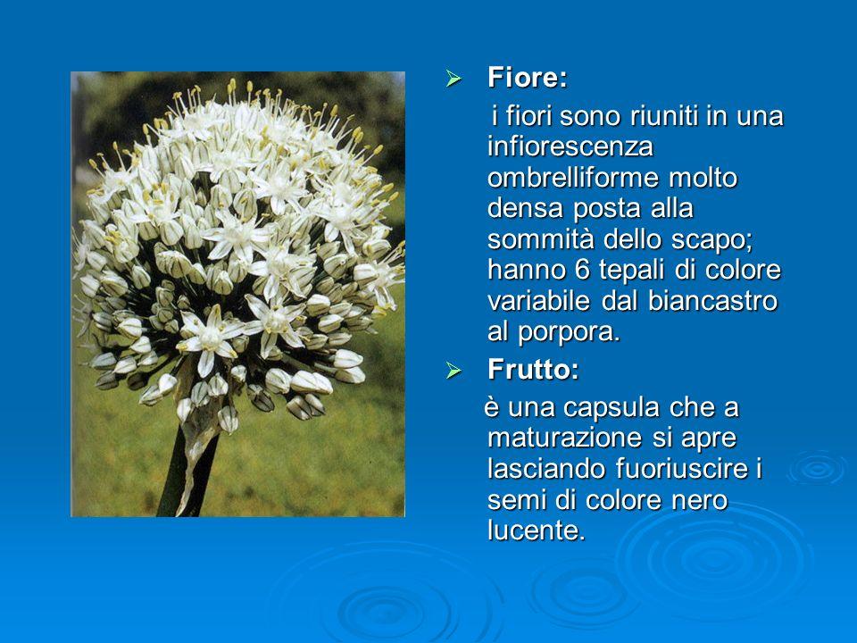 Fiore: Fiore: i fiori sono riuniti in una infiorescenza ombrelliforme molto densa posta alla sommità dello scapo; hanno 6 tepali di colore variabile dal biancastro al porpora.