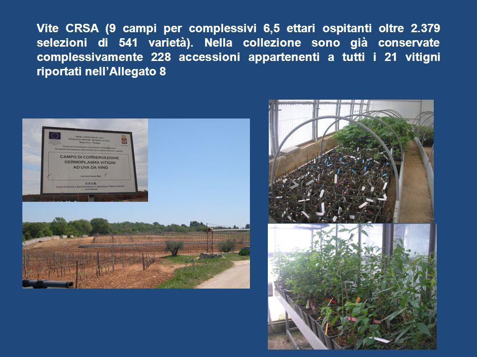Vite CRSA (9 campi per complessivi 6,5 ettari ospitanti oltre 2.379 selezioni di 541 varietà). Nella collezione sono già conservate complessivamente 2