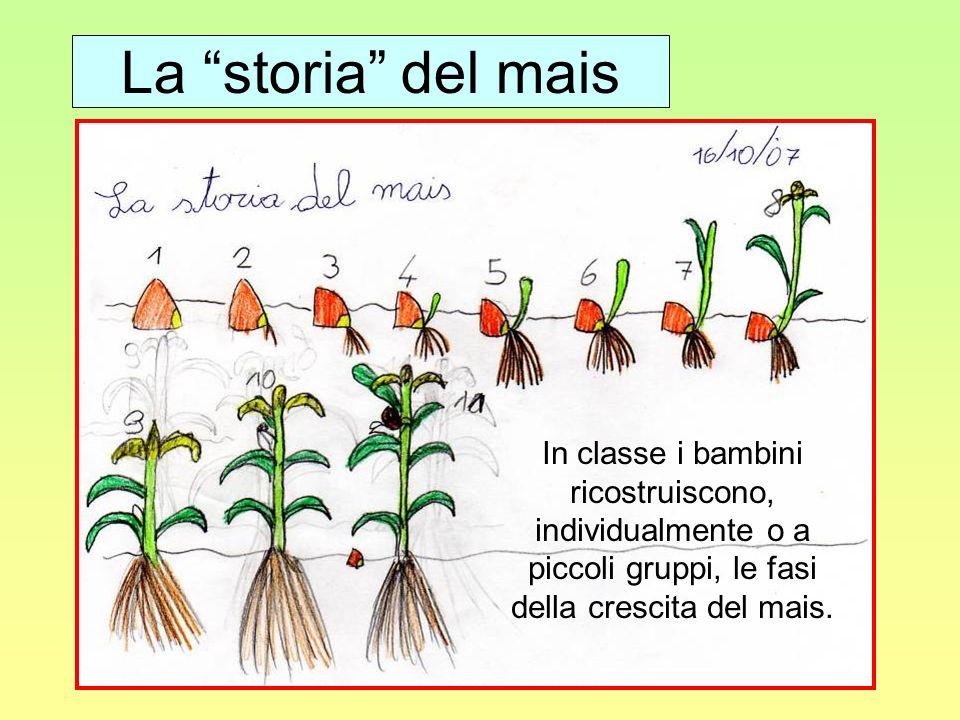 La storia del mais In classe i bambini ricostruiscono, individualmente o a piccoli gruppi, le fasi della crescita del mais.