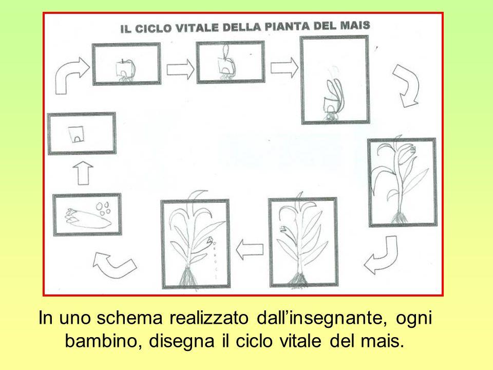 In uno schema realizzato dallinsegnante, ogni bambino, disegna il ciclo vitale del mais.