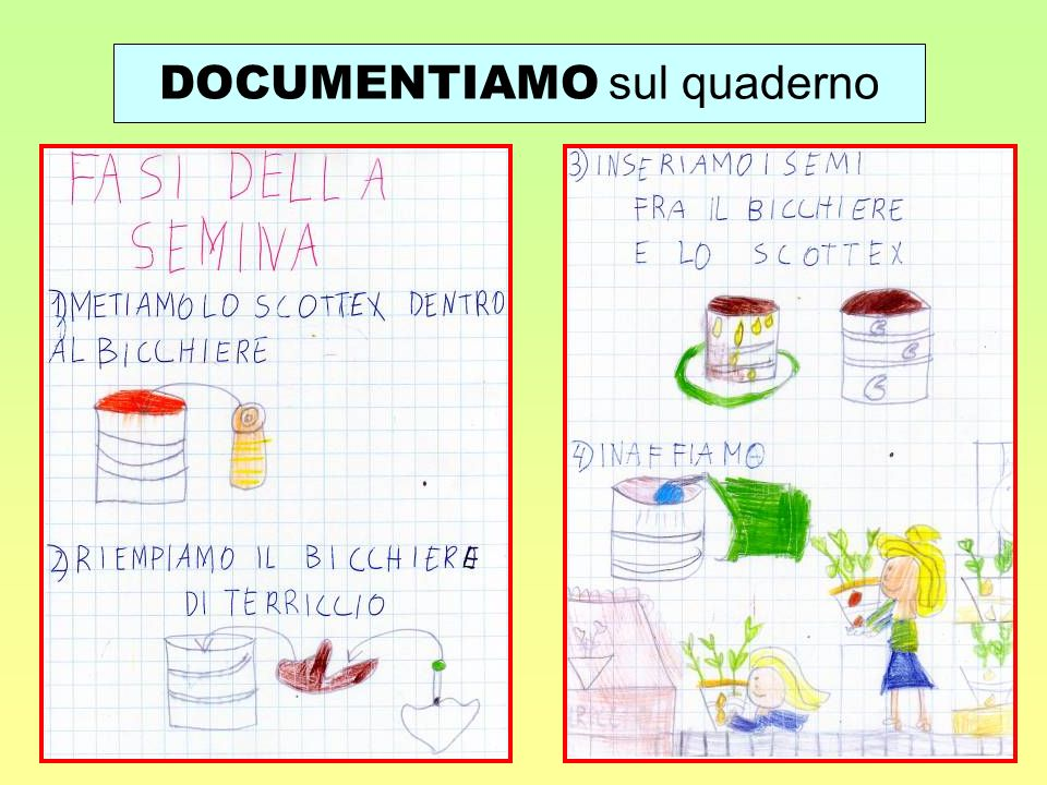 SCEGLIAMO UNA MONOCOTILEDONE Individualmente i bambini osservano, disegnano e descrivono