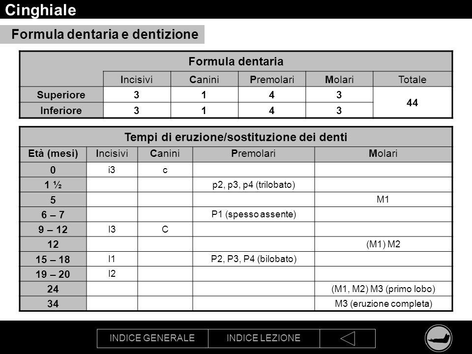 INDICE GENERALEINDICE LEZIONE Cinghiale Formula dentaria IncisiviCaniniPremolariMolariTotale Superiore3143 44 Inferiore3143 Tempi di eruzione/sostituz