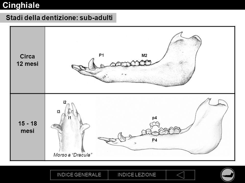 INDICE GENERALEINDICE LEZIONE Cinghiale Stadi della dentizione: sub-adulti Circa 12 mesi 15 - 18 mesi P1 M2 I3 i2 I1p4 P4 Morso a Dracula