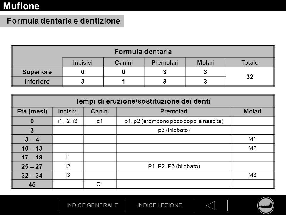 INDICE GENERALEINDICE LEZIONE Muflone Formula dentaria IncisiviCaniniPremolariMolariTotale Superiore0033 32 Inferiore3133 Tempi di eruzione/sostituzio
