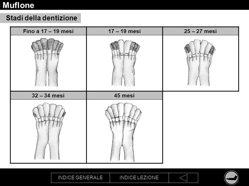 INDICE GENERALEINDICE LEZIONE Muflone Fino a 17 – 19 mesi17 – 19 mesi25 – 27 mesi 32 – 34 mesi45 mesi Stadi della dentizione