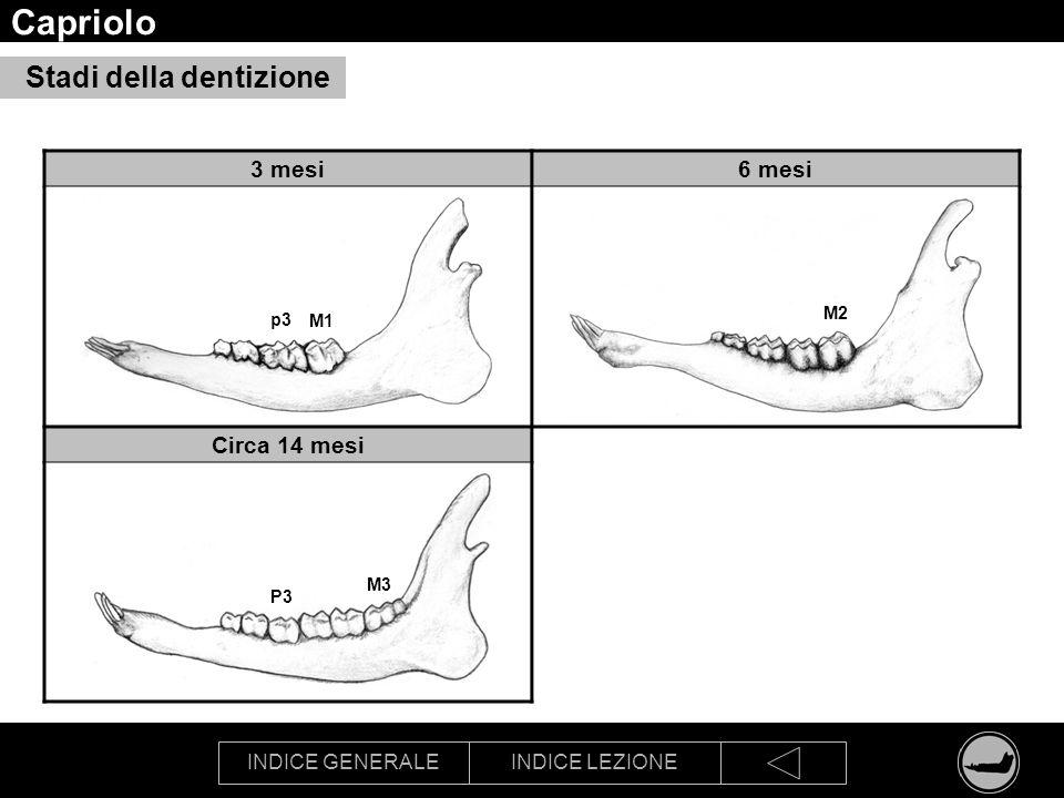 INDICE GENERALEINDICE LEZIONE Capriolo Stadi della dentizione 3 mesi6 mesi Circa 14 mesi M1 p3 M2 M3 P3