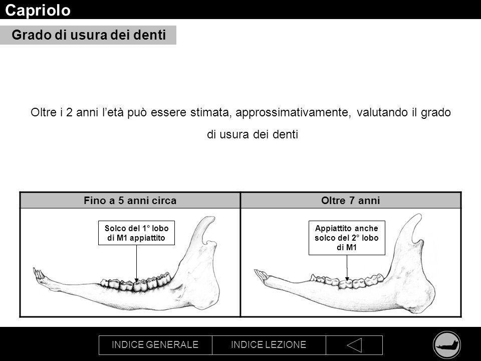 INDICE GENERALEINDICE LEZIONE Capriolo Grado di usura dei denti Oltre i 2 anni letà può essere stimata, approssimativamente, valutando il grado di usu