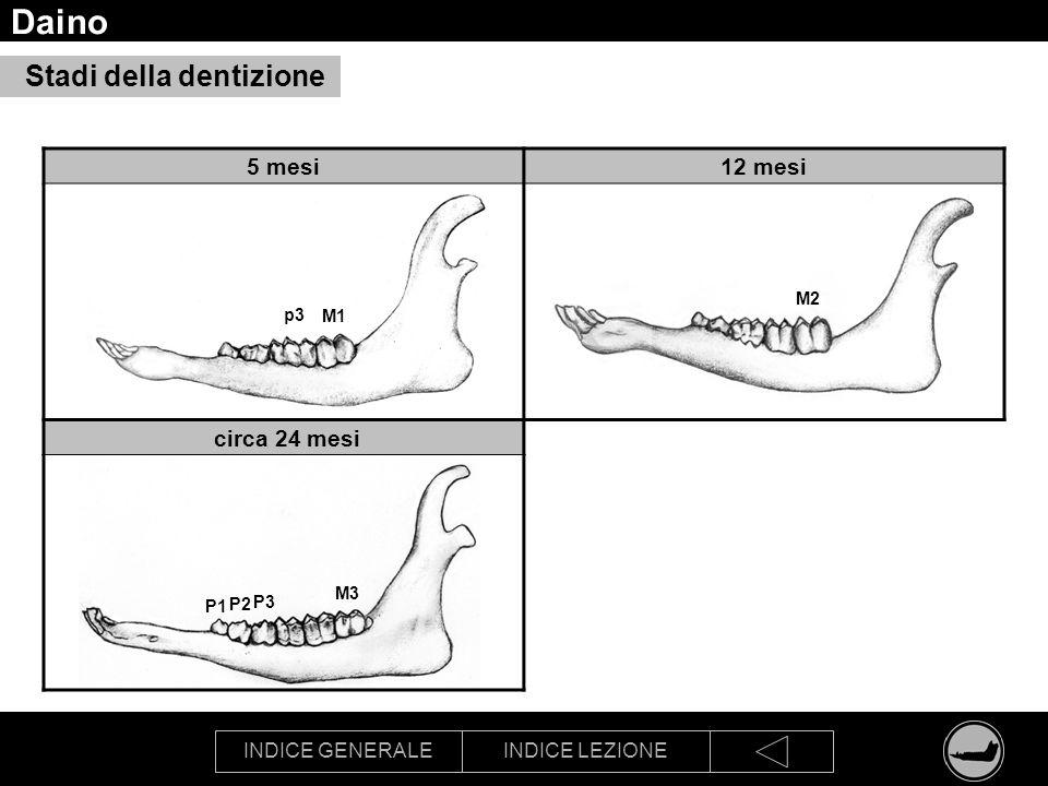 INDICE GENERALEINDICE LEZIONE Daino Stadi della dentizione 5 mesi12 mesi circa 24 mesi M1 p3 M2 M3 P3 P2 P1