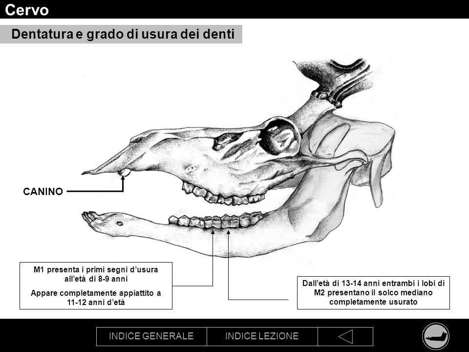 INDICE GENERALEINDICE LEZIONE Cervo Dentatura e grado di usura dei denti M1 presenta i primi segni dusura alletà di 8-9 anni Appare completamente appi