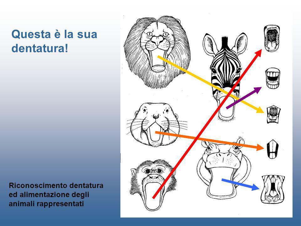 Riconoscimento dentatura ed alimentazione degli animali rappresentati Questa è la sua dentatura!