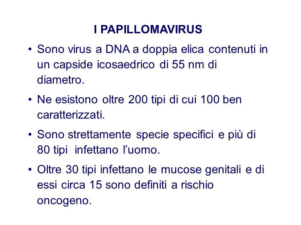 I PAPILLOMAVIRUS Sono virus a DNA a doppia elica contenuti in un capside icosaedrico di 55 nm di diametro. Ne esistono oltre 200 tipi di cui 100 ben c
