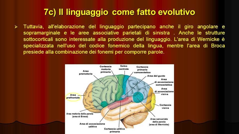 7c) Il linguaggio come fatto evolutivo Tuttavia, all'elaborazione del linguaggio partecipano anche il giro angolare e sopramarginale e le aree associa