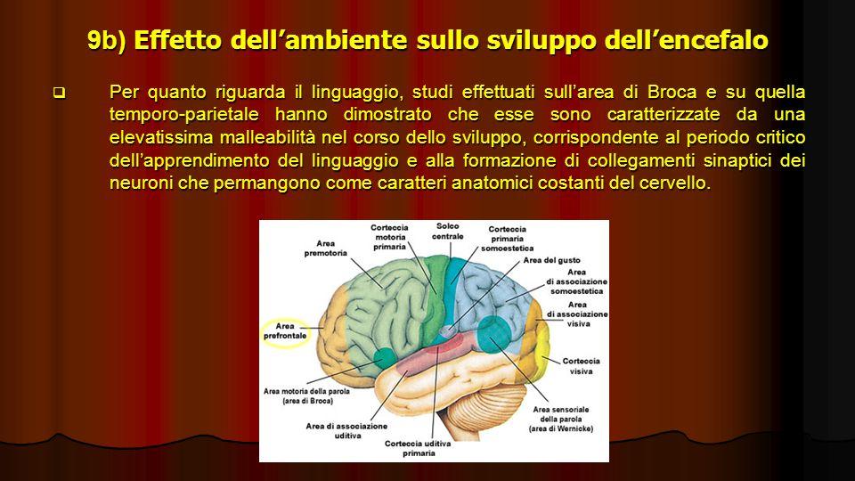 9b) Effetto dellambiente sullo sviluppo dellencefalo Per quanto riguarda il linguaggio, studi effettuati sullarea di Broca e su quella temporo-parieta