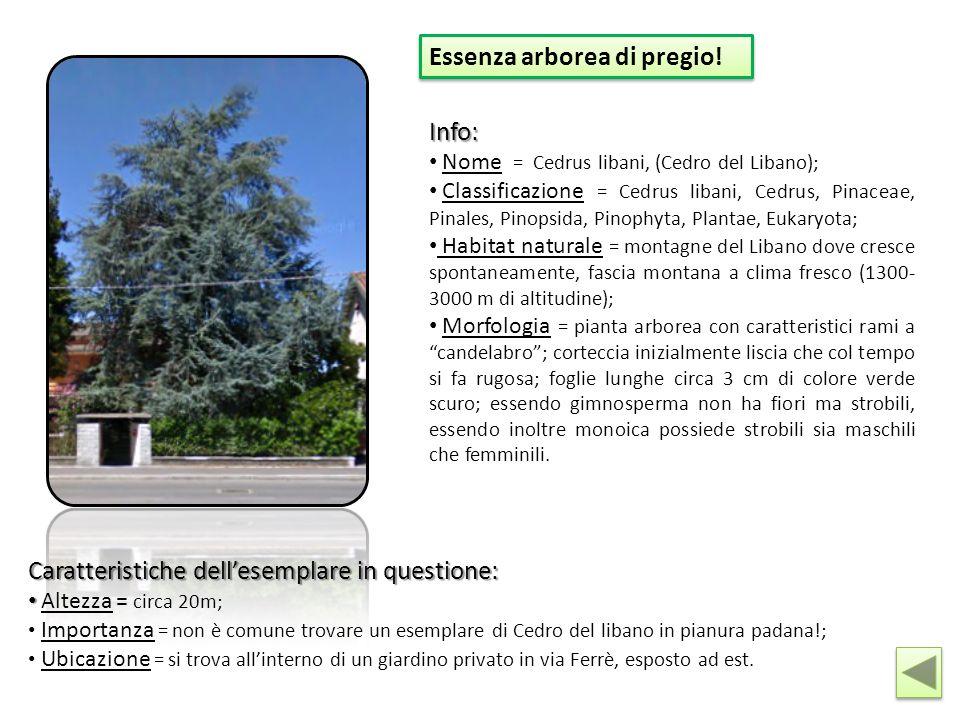 Essenza arborea di pregio! Info: Nome = Cedrus libani, (Cedro del Libano); Classificazione = Cedrus libani, Cedrus, Pinaceae, Pinales, Pinopsida, Pino